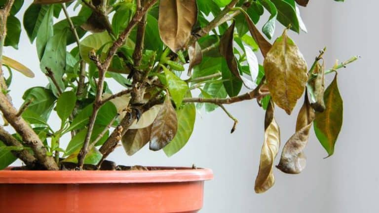 Why Do Coffee Plant Leaves Turn Brown
